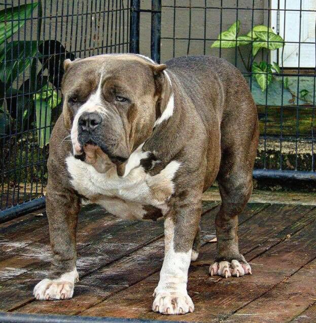 XL & XXL Pitbull Kennels - Blue & Red Nose Pitbulls for Sale